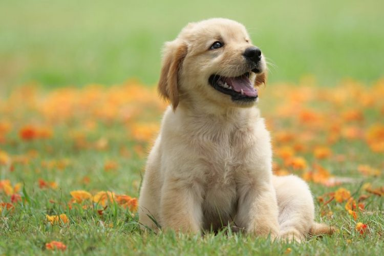 keep your golden retrievers healthy against cancer