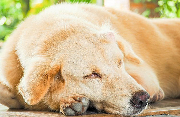 Owner's Guide to Cancer in Dogs